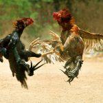 Giống gà nào thường được làm