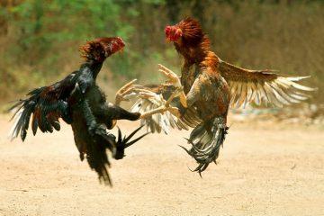 """Giống gà nào thường được làm """"Gà Chiến""""? – Cách chọn màu lông gà chọi"""