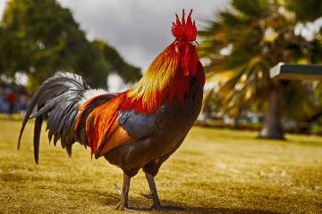 """Bạn có biết: """"Cách làm cho gà mau ra lông?"""""""