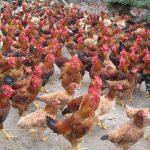 Lưu ý quan trọng khi bạn mua gà thịt số lượng lớn